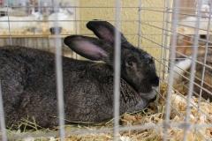 black-bunny_8106669502_o